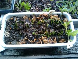 ホウレンソウの芽