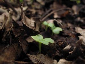 コマツナの芽