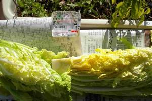 白菜と値札