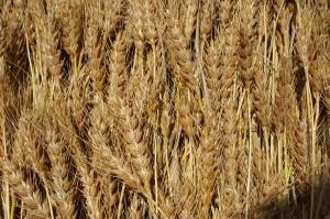 脱穀前小麦