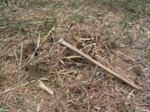 根を掘り出した竹