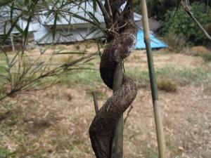 竹に絡んだクズ
