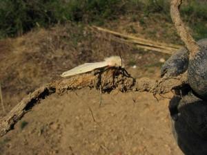 鬣を持った蛾