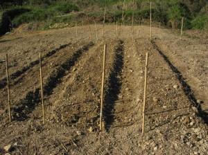 金比羅畑の畝