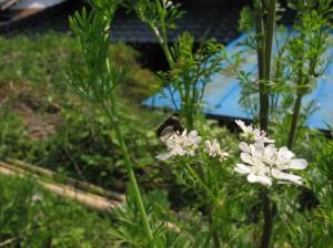 コリアンダーの花とセダカコガシラアブ