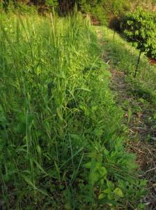 小麦とラッキョウ