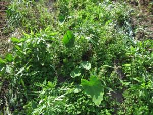 雑草に被われたサトイモ