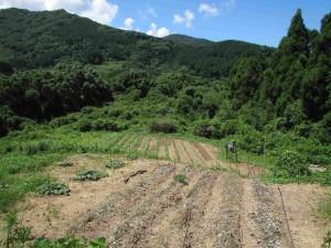 カライモ畑