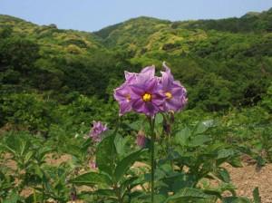 グラウンドペチカの花