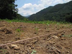トウガラシ定植
