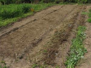 一反畑の畝