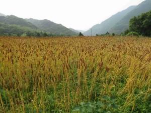 色付く小麦