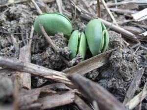 エダマメの芽