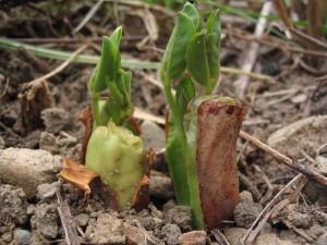 ピーナッツの芽