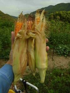 甲州トウモロコシ