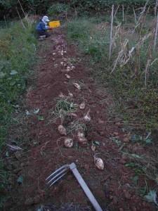 カライモの収穫