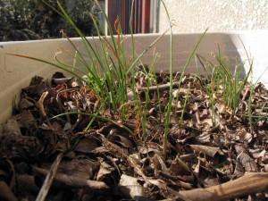 雑草を刈ったニラ畑