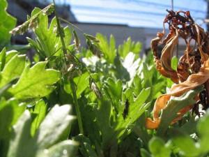 シュンギクと雑草とトウガラシと虫