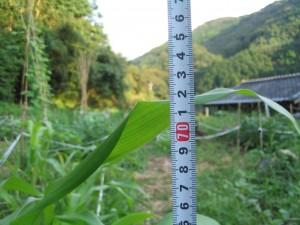 トウモロコシ身長測定