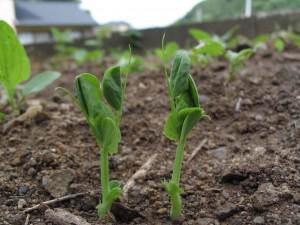 サヤエンドウの芽