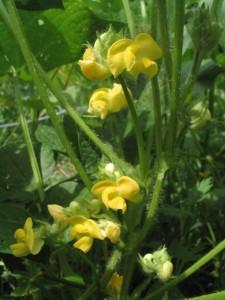 アズキの花