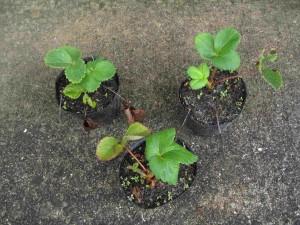定植前のイチゴ