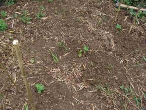 定植後のイチゴ