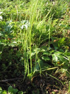 雑草の中のタマネギの苗
