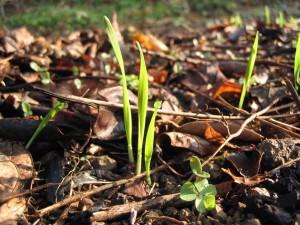コムギの芽