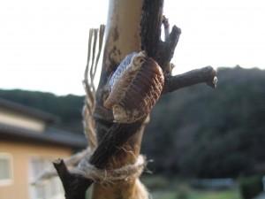 ハラビロカマキリの卵鞘